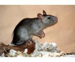 Tratamiento contra ratas